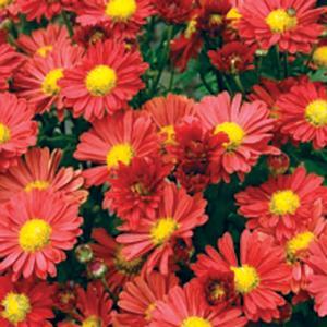 Chrysanthemum Red Daisy Morifolium  - Chrysanthemum Mammoth -  std pot